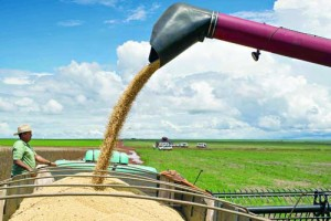 (FILE) A combine harvester pours cropped